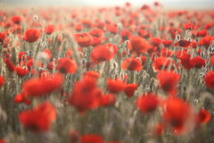 Poopies2. Sunrise morning. Field of red poppies Royalty Free Stock Photo