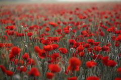 Poopies3. Sunrise morning. Field of red poppies royalty free stock image