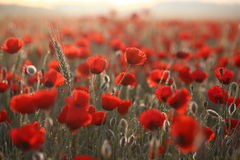 Poopies5. Sunrise morning. Field of red poppies Stock Images
