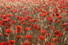 Poopies10. Sunrise morning. Field of red poppies Stock Images