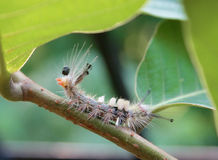 Pooping caterpillar of Tussock moth Stock Photo