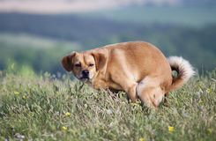 Pooping dog Royalty Free Stock Images