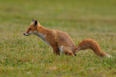 Pooping Fox. This is a young fox in the grassland Royalty Free Stock Images