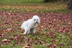 Pooping Hund lizenzfreies stockfoto