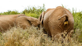 Pooping quase feito - elefante de Bush do africano Foto de Stock Royalty Free