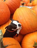 Poopsie in Pumpkins Stock Photography