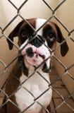 Poor boxer baby! Stock Photos