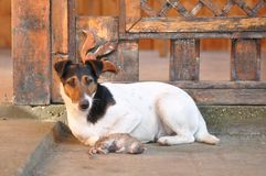 Dog with dead rat. Poor dead rat and the hunting dog. Smooth fox terrier hunting breed Royalty Free Stock Photography