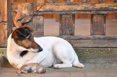 Dog with dead rat. Poor dead rat and the hunting dog. Smooth fox terrier hunting breed Royalty Free Stock Photo