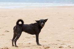 Poor and dirty homeless dog stanging on the beach Royalty Free Stock Photo