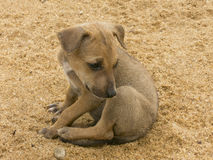 Poor dog abendoned in a sand Stock Image
