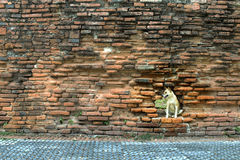The poor dog in a hole of the brick wall Stock Image
