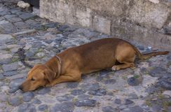 Poor dog laying on cobble stone pavement royalty free stock photography