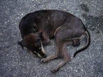 Poor dog. Poor mang brown dog skin disease leprous stray in rod stock photo