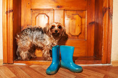 Poor dog near door. Poor little dog near door with blue rubber boots, doeand'n want go for a walk in rain stock photo