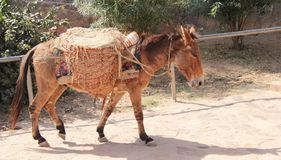 Poor Donkey carrying sand in Rajasthan Royalty Free Stock Images
