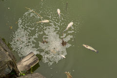 Poor fishes. The water is contaminated, the poor fishes got sick and constantly are death royalty free stock photography