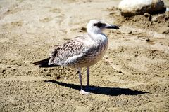 Poor gull on the beach,  gull on sand. An  poor brown seagull, people calling gull on the beach, on the sand, looking for something to eat, in Elba island, in Royalty Free Stock Image