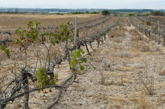 Poor harvest vineyards Stock Image