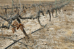 Poor harvest vineyards Stock Image