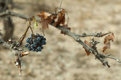 Poor harvest vineyards Royalty Free Stock Images
