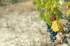 Poor harvest vineyards Royalty Free Stock Photos