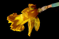 Poor jonquil - end of bloom. Yellow jonquil at the end of its life royalty free stock photos