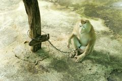 Poor little monkey chained to post Stock Images