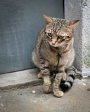 Poor looking injured cat sitting in front of a door Royalty Free Stock Image