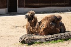 Poor animal welfare. Shabby unkempt camel in the Moscow zoo royalty free stock photography