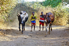Poor malagasy boy leading angry bulls Royalty Free Stock Image
