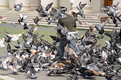 Poor man feeding pigeons Royalty Free Stock Image