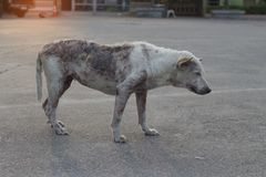 Poor mangy dog. Stock Photo