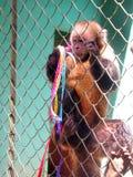 Poor monkey Brazil Stock Images