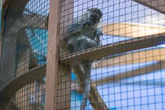 Poor monkey in a cage. Turned around stock images