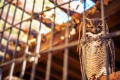 Poor Owl in Captivity Stock Photo