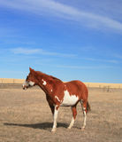 Poor Pinto Pony. A poor pinto pony stands in her barren, windswept, prairie pasture and wishes for greener pastures Stock Photo