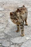 Poor stray kitten Royalty Free Stock Image
