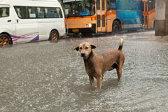Poor street dog standing in rain flood water. With traffic jam background royalty free stock image