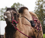 Poor tired circus camel during transportation to diverse zoo Royalty Free Stock Photo