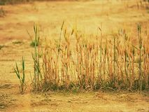 Poor wheat harvest. Dry cracked clay in corner of wheat field. Dusty ground with cracks. And wilted flowers royalty free stock image