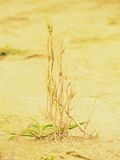 Poor wheat harvest. Dry cracked clay in corner of wheat field. Dusty ground with cracks Royalty Free Stock Photo