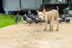 A poor white dog with food on the ground Royalty Free Stock Photos