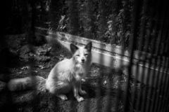 Poor young fox is kept behind bars. A poor young fox is kept behind bars. This is depressing and miserable to watch. Animals have rights to be free. Animals royalty free stock photos