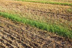 Poorly harvested crop. A poorly harvested crop of wheat, grain from the harvester fallen on the soil and grown new cereals between rows of harvested cereals Stock Photo
