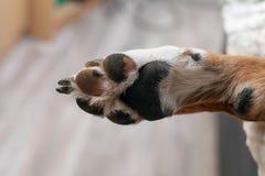 Poot van een hond van ras een Appenzeller Sennenhund royalty-vrije stock foto's