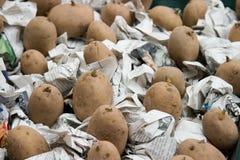 Pootaardappelen Chitting op Krant Royalty-vrije Stock Fotografie