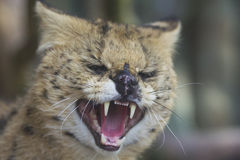 Połowu kot Obraz Stock