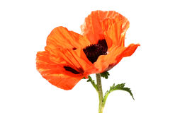 Pop!. Giant red poppy, isolated on white Stock Images