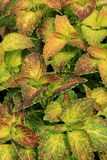 Pop of color in the detail of Coleus plant Stock Photography